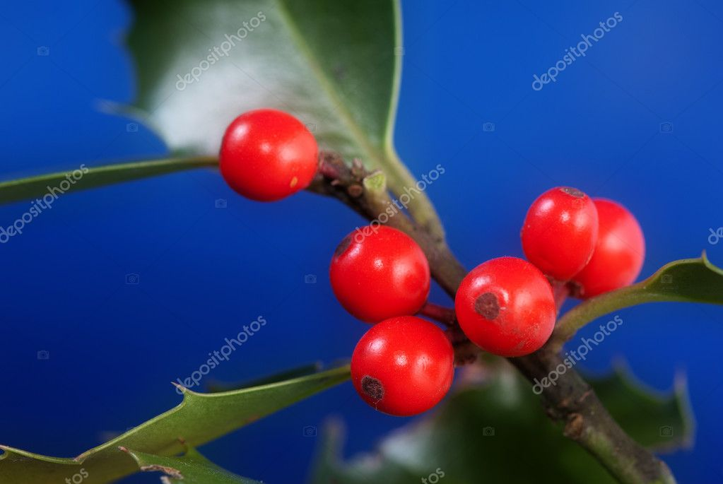 Aquifolium ilex — Stock Photo #8179291