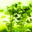 Parsley — Stock Photo #9767314