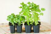 Basil and zucchini plants — Stock Photo