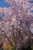 Frühling blüte — Stockfoto