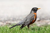 Close up shot of Robin — Foto de Stock