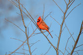Male cardinal bird — Stock fotografie