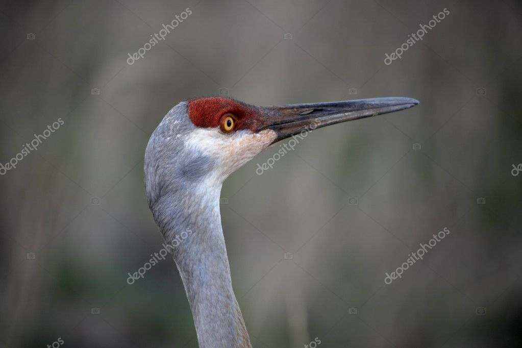 Close up shot of Sand hill crane — Stock Photo #10215834