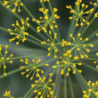 Lady's mantle flower background — Stock Photo