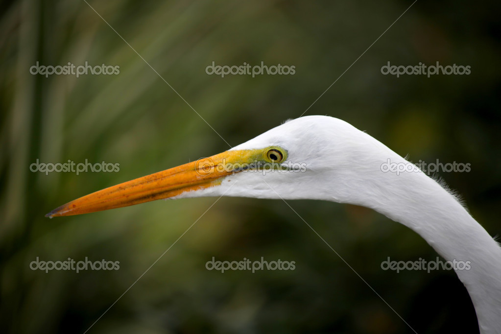Close up shot of snow white Egret on the lawn — Stock Photo #10727606