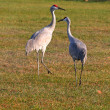 Royalty-Free Stock Photo: Two sandhill cranes