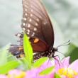 Butterfly on Zinnia flower — Stock Photo