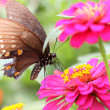 Butterfly on Zinnia flower — Stock Photo #8061926