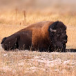 Wild Bison — Stock Photo #8061941