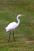 White heron on green grass land — Stock Photo