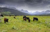 風光明媚な風景の牛 — ストック写真