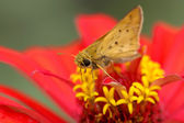 Moth on Zinnia flower — Stock Photo