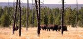 Wild Bisons — Stock Photo