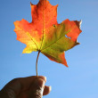 HOLDING MAPLE LEAF — Stock Photo #8081749