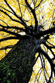 Yellow Colored Maple Tree — Stock Photo