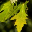 Bright Maple Leaves — Stock Photo