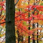 Tall Autumn Trees — Stock Photo #8098505