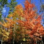Tall Autumn Trees — Stock Photo #8098590