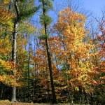Tall Autumn Trees — Stock Photo #8098718