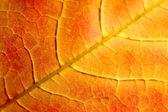 Oranžový javorový list — Stock fotografie