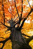 Orange Colored Maple Tree — Stock Photo