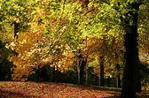 Yellow Colored Maple Tree — Stock Photo