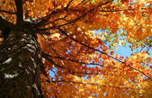 Oranje gekleurde boom — Stockfoto