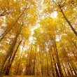 Tall yellow maple trees - Stock Photo