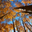 Tall autumn trees — Stock Photo