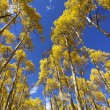 Tall Aspens — Stock Photo