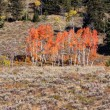Colorful Aspen trees — Stock Photo