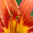 Tiger Lily flower - Photo