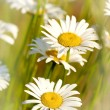 Two daisies  in a grass — Stock Photo
