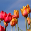 Yellow and pink Tulips — Stock Photo