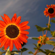 Stock Photo: Orange Sun Flower