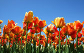 Red And Orange Colored Tulips — Stock Photo