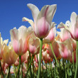 White and red colored tulips — Stock Photo #8522896