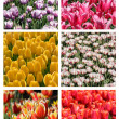 Tulip collage — Foto Stock