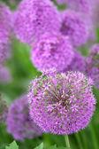 Flores de alho — Fotografia Stock