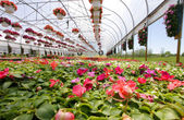 Summer annuals for sale in a green house — Stock Photo