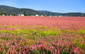 Field of pink flowers — Stock Photo