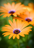 Orange daisy flowers — Stock Photo