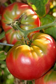 Organic Tomatoes — Stock Photo