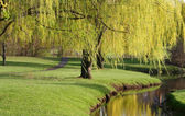 Willow Trees — Stock Photo