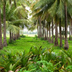 ������, ������: Coconut farm