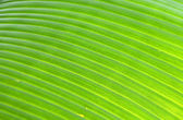 Bright Banana Leaf — Stock Photo