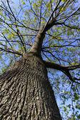Tall Tree — Stock Photo