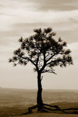 Single tree in sepia — Stock Photo