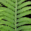 Fern leaves — Stock Photo #8891970