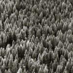 Pine tree background — Stock Photo #8892071